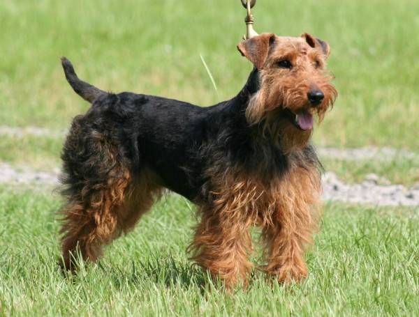 Welch Terrier cammina