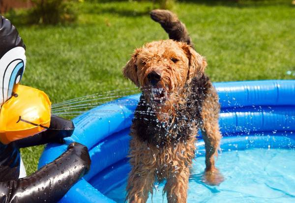 Welsh Terrier in piscina