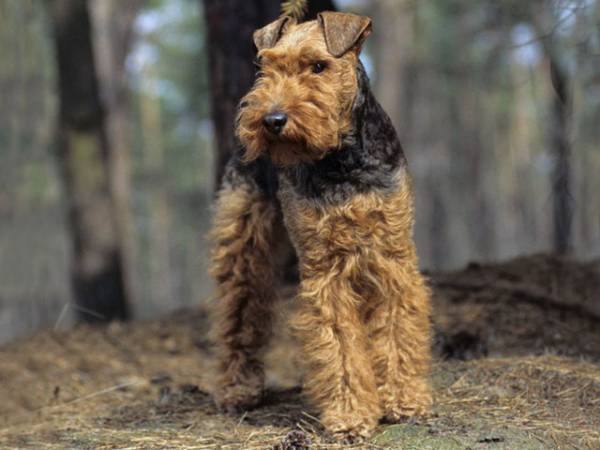 Welch Terrier nella foresta