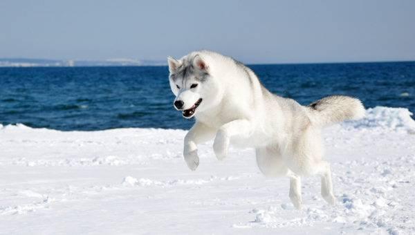 Sakhalin husky foto del cane prezzo descrizione della razza natura video - Husky occhi diversi ...
